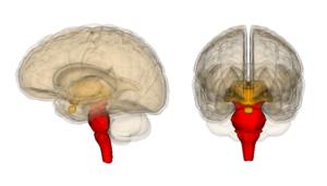 cervello-rettiliano-e-limbico